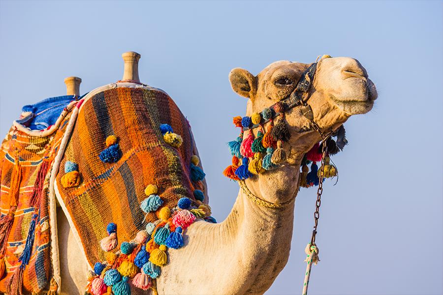 camelo_marrocos_01
